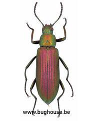Tenebrionidae