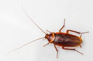 Blattidae