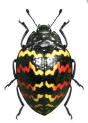 Erotylidae
