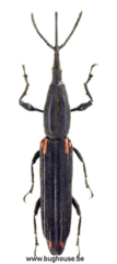 Brentidae