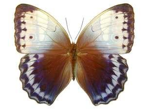 Amathusidae