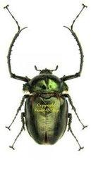 Euchiridae
