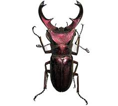 Lucanidae