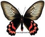 Atrophaneura dixoni (Sulawesi) Female