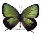 Arhopala eumolphus (Java)