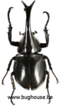 Xylotrupes Lorquini (Sulawesi) ♂︎