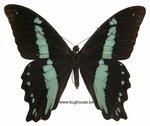 Papilio nireus (RCA)