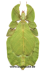 Phyllium Bioculatum FEMALE (Green) (Java)