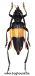 Pachyteria dimidiata (Thailand)