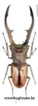Cyclommatus metallifer ssp. (Sulawesi) 75mm
