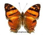 Hypanartia Lethe (Peru)