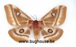 Bunea Aslauga (Madagascar)