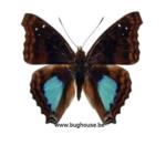 Doxocopa Cyane (Peru)