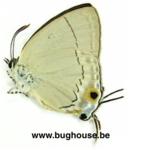 Tajuria Iapix (Sulawesi)