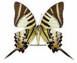 Graphium decolor decolor (Philippines)