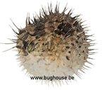Porcupine fish medium