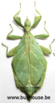 Phyllium Jacobsoni (Sumatra)