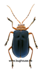 Haplosonyx Nigripennis (Sulawesi)