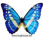 Morpho Cypris (Colombia) DEEP BLUE