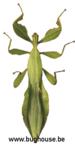 Phyllium Celebicum MALE (Green) (Thailand)