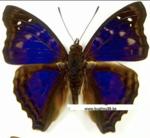 Doxocopa Elis (Peru)