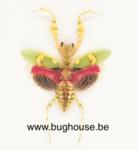 Xylocopa caerulea (China)