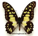 Graphium Tynderaeus (RCA) ♂︎