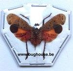 Penthicodes pulchella (Java)