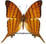 Marpesia Berania (Peru)
