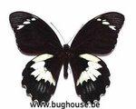 Papilio gambrisius (Ceram) A-