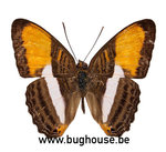 Adelpha Cytherea (Peru)