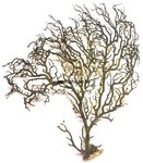 Black sea Fan -LARGE 4 -