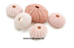 Sea urchin pink