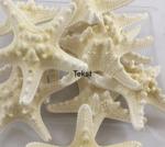 Starfish Rhinoceros bleached