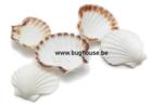 Scallop shell (deep)