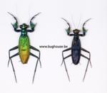 """Metaliticus Splendidus PAIR """"RARE"""" (Sumatra)"""