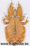 Phyllium Bioculatum FEMALE (Orange) (Java)