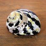 Black Magpie shell 7cm