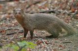 Small Indian mongoose (Skeleton)
