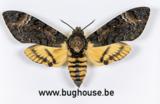 Acherontia Styx (Java)