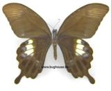 Papilio fuscus (Indonesia) UNDERSIDE