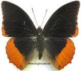 Charaxes protoclea (Afrika)♂︎