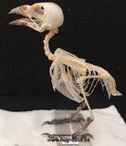 Bird Skeleton (Eurasian Tree Sparrow) Indonesia
