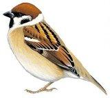 Bird Skeleton (Eurasian Tree Sparrow) Indonesia_
