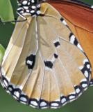 Danaus chrysippus (Madagascar)  MALE