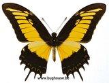 Papilio Androgeus (Peru)
