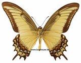 Papilio Androgeus (Peru) underside
