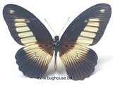 Papilio cynorta (RCA) back