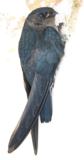 Glossy swiftlet bird skeleton (Indonesia)