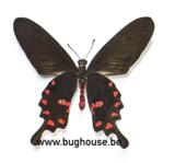 Pachliopta kotzebuea (Philippines)